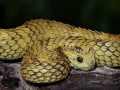 foto-atheris-hispida
