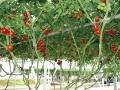 Фотографии помидоров