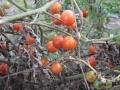 Фотографии томатов