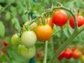Плантация помидоров