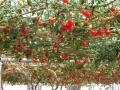 Помидор это ягода или овощ