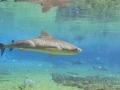 Большая тигровая акула фото