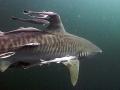 Фото тигровых акул 3