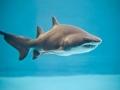 Фото тигровых акул 4