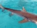 Интересные факты о тигровых акулах