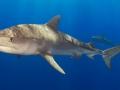 Картинки тигровых акул