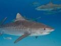 Тигровая акула смертельно опасный хищник