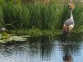 Фото венценосного журавля