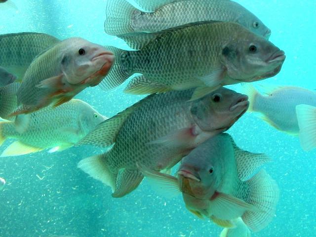 Фото тилапии - санитара моря