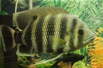 Разведение рыб в аквариуме