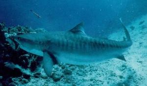 Много фото тигровых акул собрано специально для вас!