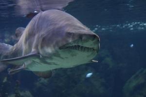 Много фото тигровых акул на нашем сайте!
