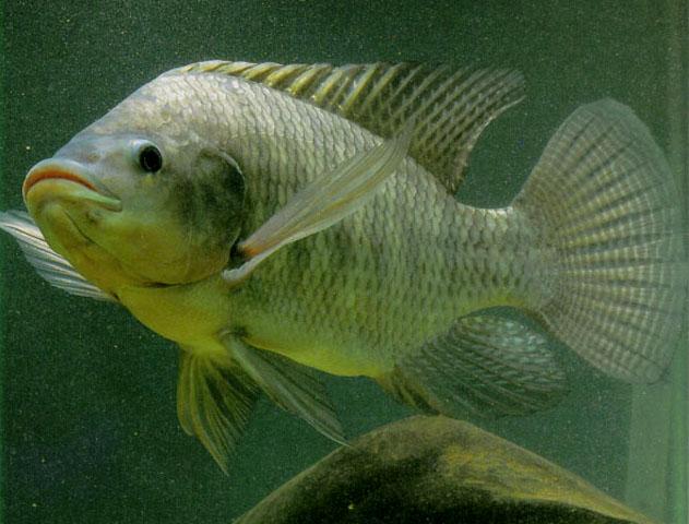 На фото изображена рыба тилапия