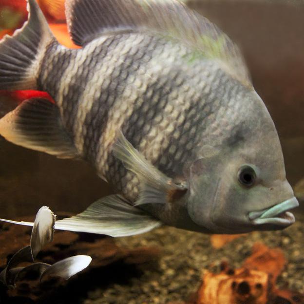 Взрослая речная рыба