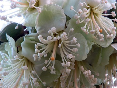 Фото цветов дуриана