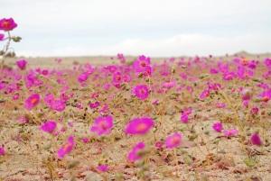 Цветы пустыни фото