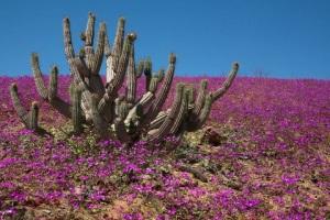 Флора пустыни атакама