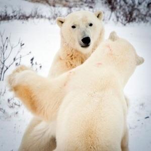 interesnye-fakty-o-belom-medvede