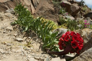 Растения пустыни Атакама