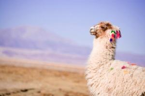 Животное альпако фото
