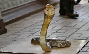 Королевская кобра в доме