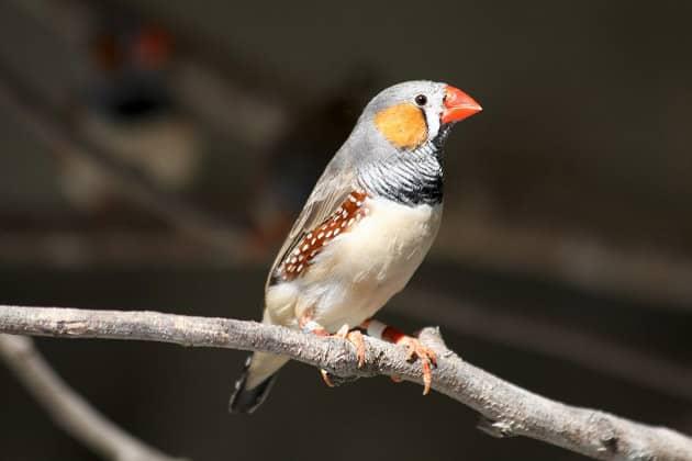 Фотография птица амадина