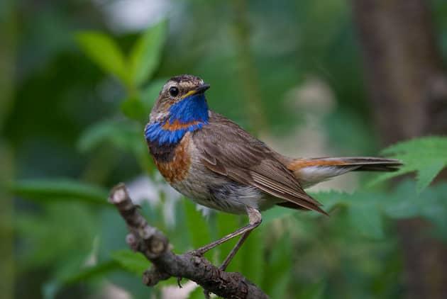 Фотография птицы варакушки на дереве