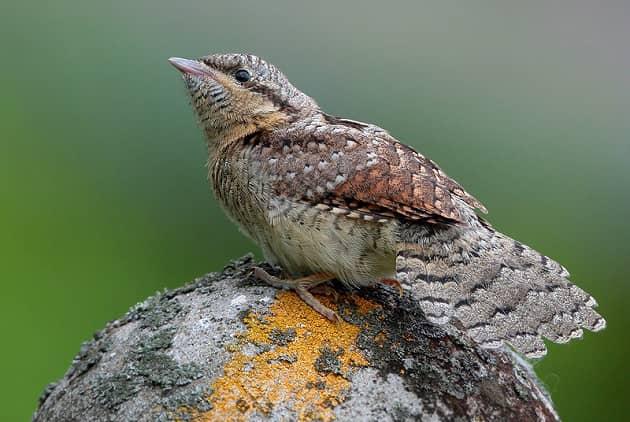 Фотография птицы вертишейки