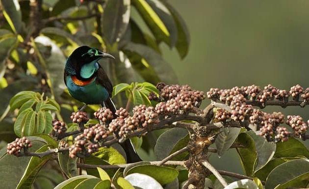 Фотография птицы астрапии