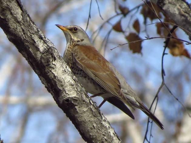 Фото белобровика на ветке дерева