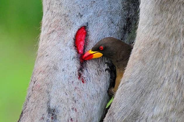 Птица волоклюй добывает пищу