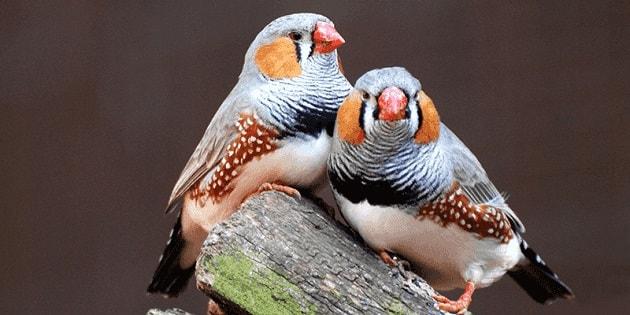 Фотография птиц амадин