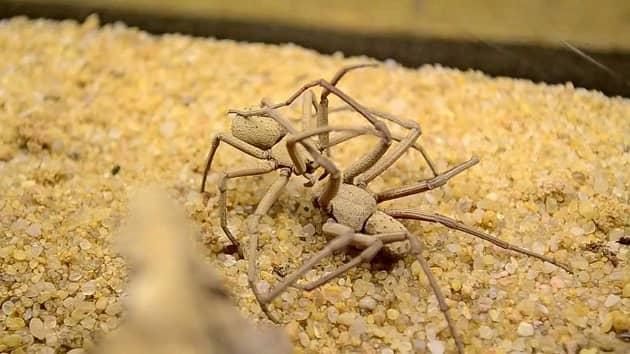Сражение двух песочных пауков
