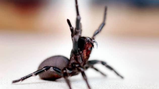 Сиднейский паук встал в защитно-атакующую стойку