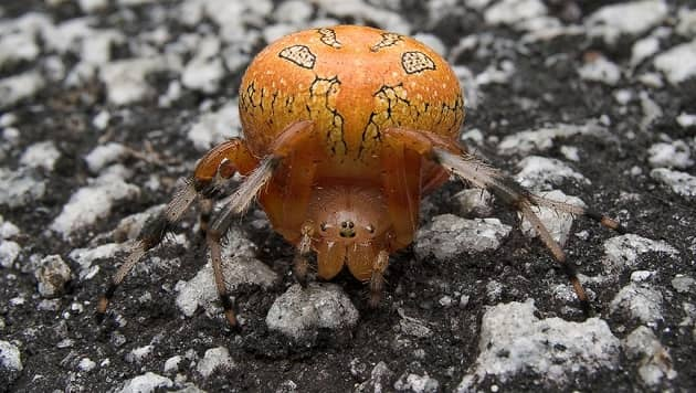 Ядовитый паук, который обитает на территории России