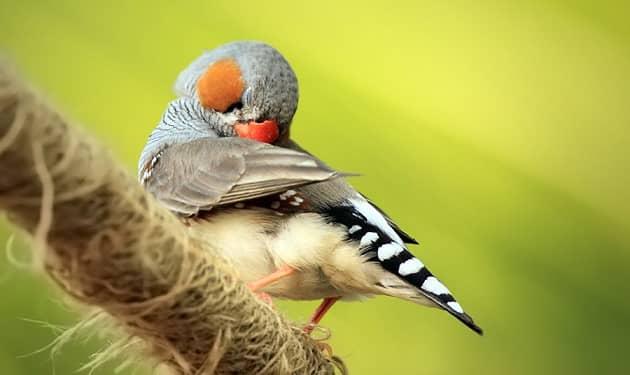Зебровая амадина чистит перья