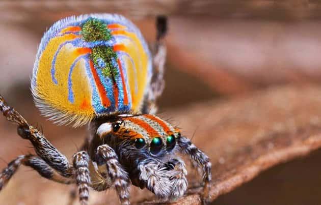 Фотография австралийского паука-павлина
