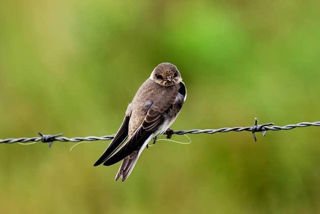 Птица береговушка