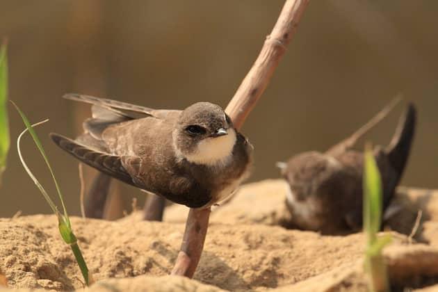 Фотография ласточки береговушки на песке