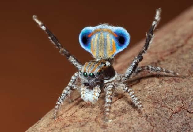 Фотография павлиньего паука в диких условиях