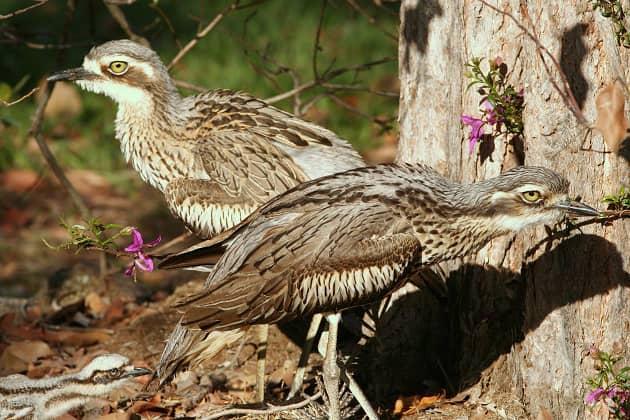 Пара птиц лежень во время гнездования