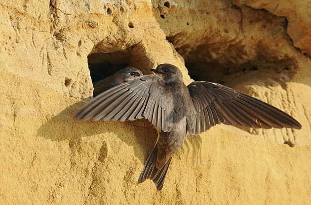 Фотография гнезда ласточки береговушки
