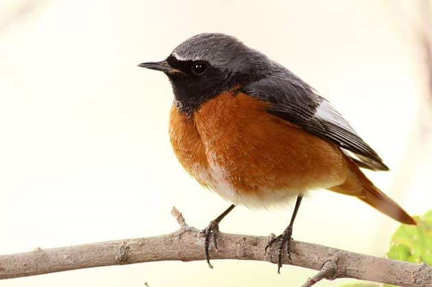 Фотография птицы лысушки
