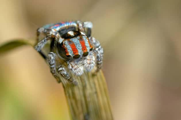 Фотография паука-павлина