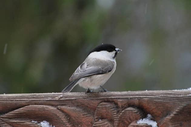 Фотография птицы пухляк