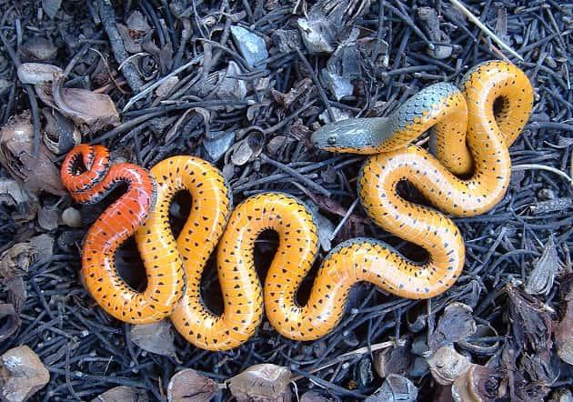 Фотография ошейниковой змеи