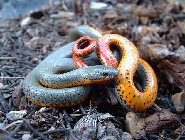 Фотография взрослой ошейниковой змеи