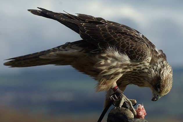 Фотография хищной птицы балобан