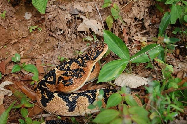 змея охраняет кладку яиц