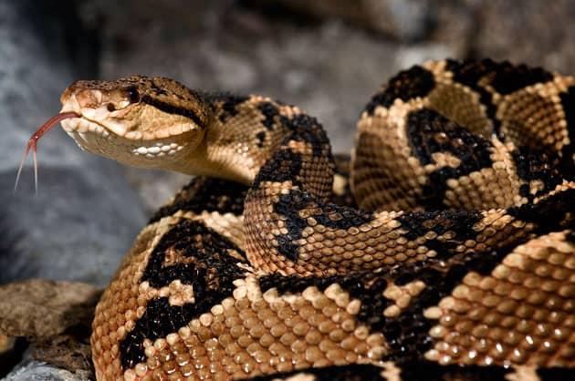 фотография змеи бушмейстер